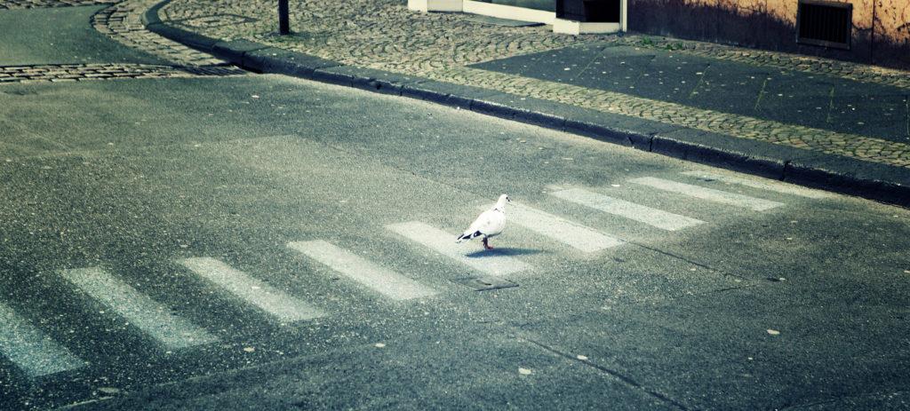 Pigeon crossing